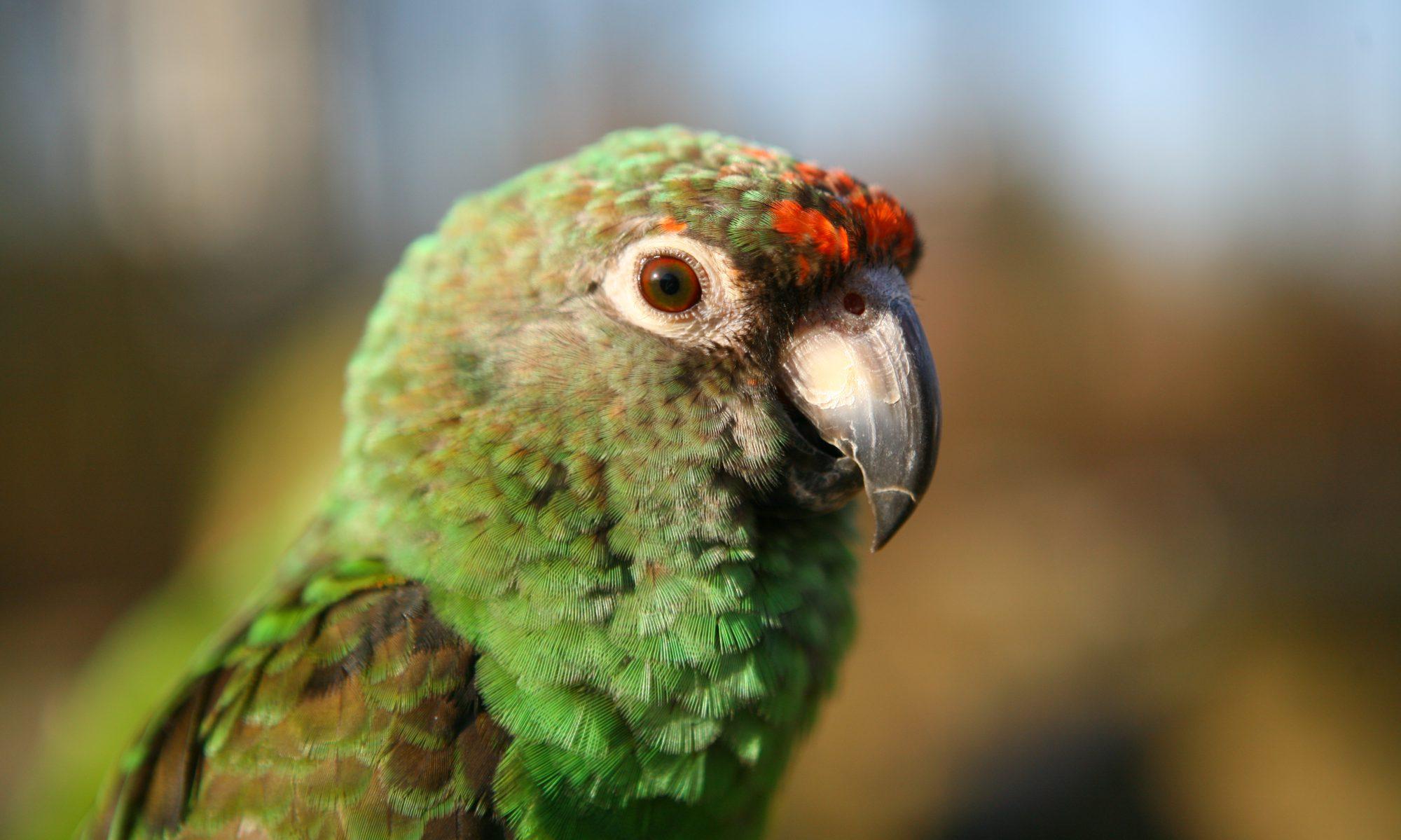 Papegaaien info